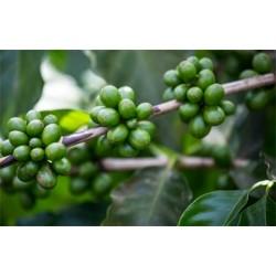 Масло зеленого кофе, 50 мл